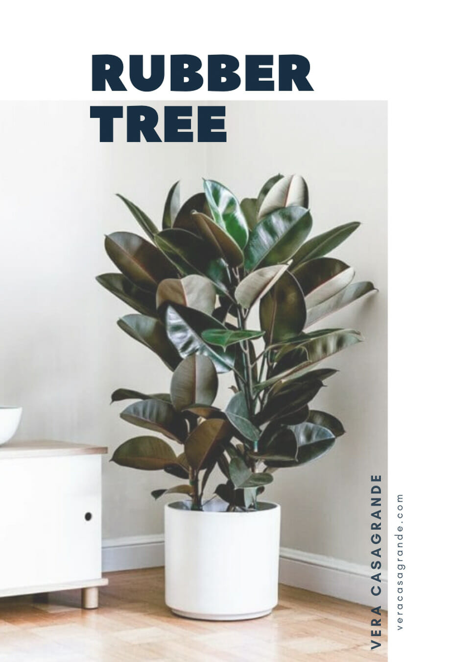 A Rubber Tree in a White pot