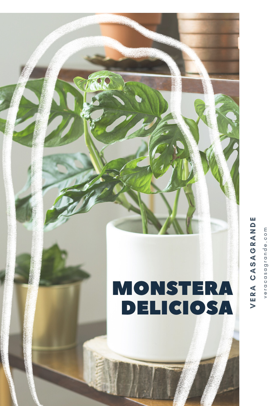 Monstera Deliciosa in a White pot