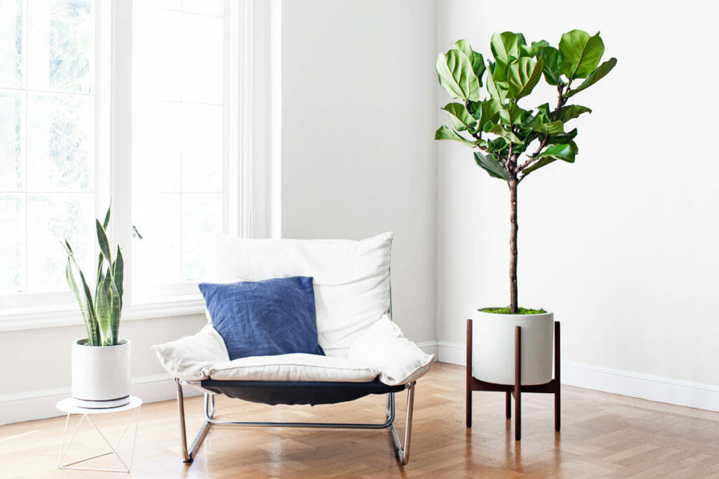 fiddle leaf fid perfect outdoor plant